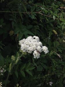 White yarrow. Devon Lane